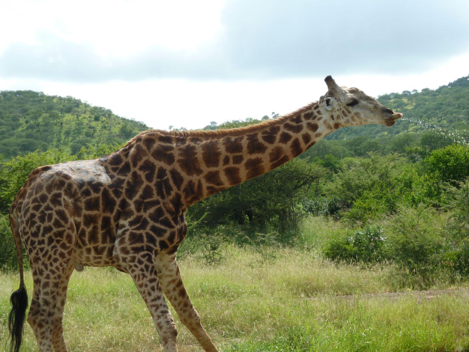 Sledovat pitný režim žirafy je unikátní zážitek