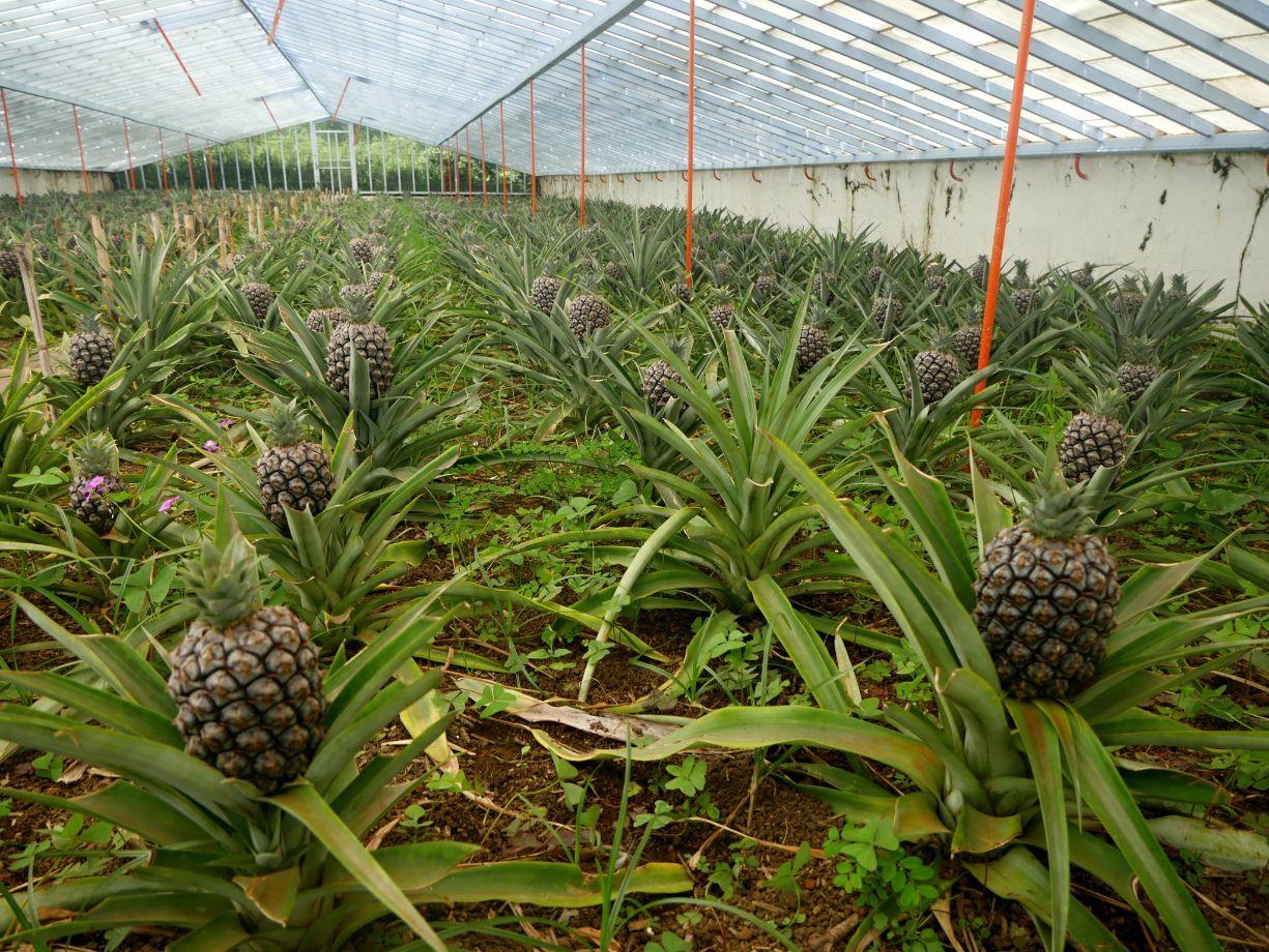 Azorské ananasy