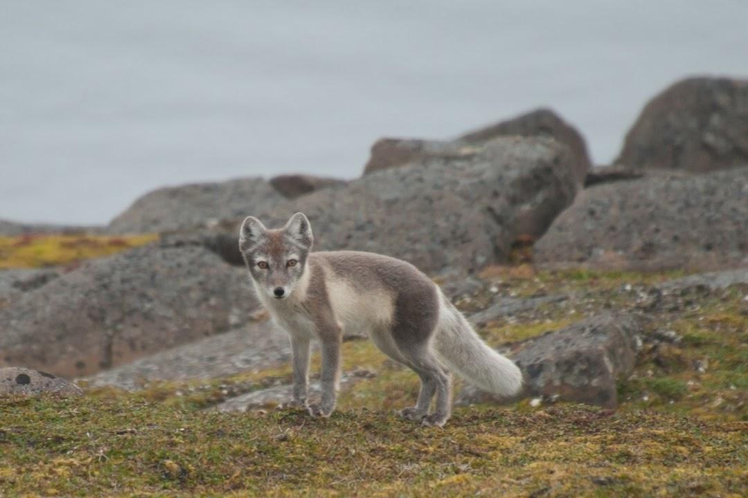 Pozorování polární lišky