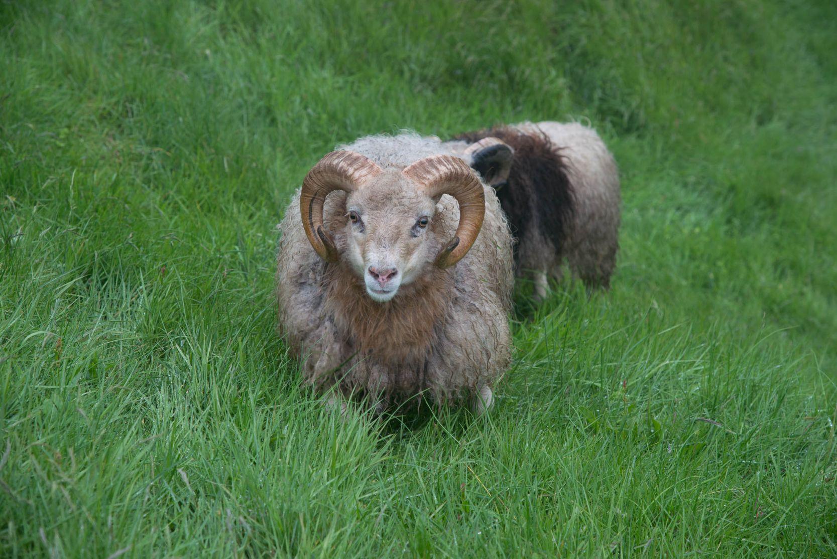 Faerské ostrovy znamenají v doslovném překladu Ovčí ostrovy a na rozdíl od lidí potkáte ovce všude na ostrovech