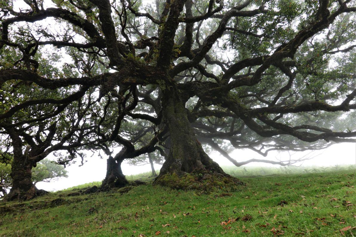 Prastaré stromy na Fanalu
