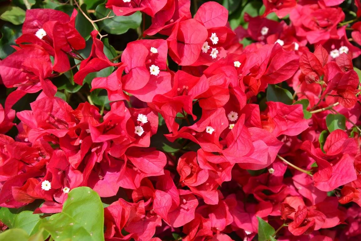 Květena Azor- bugenvilea