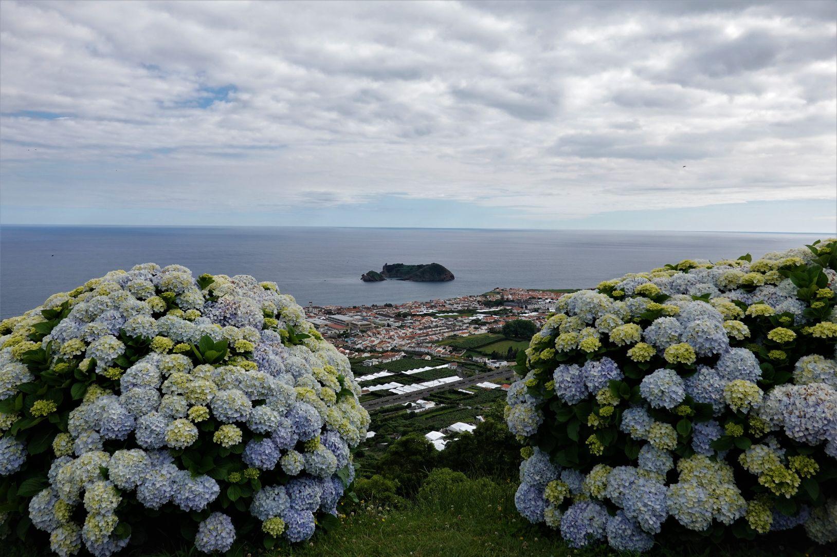 Hortenzie na Azorech jsou v létě v plném květu