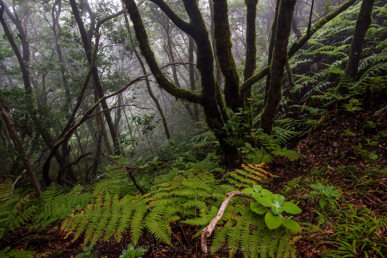 Vavřínový les v pohoří Anaga