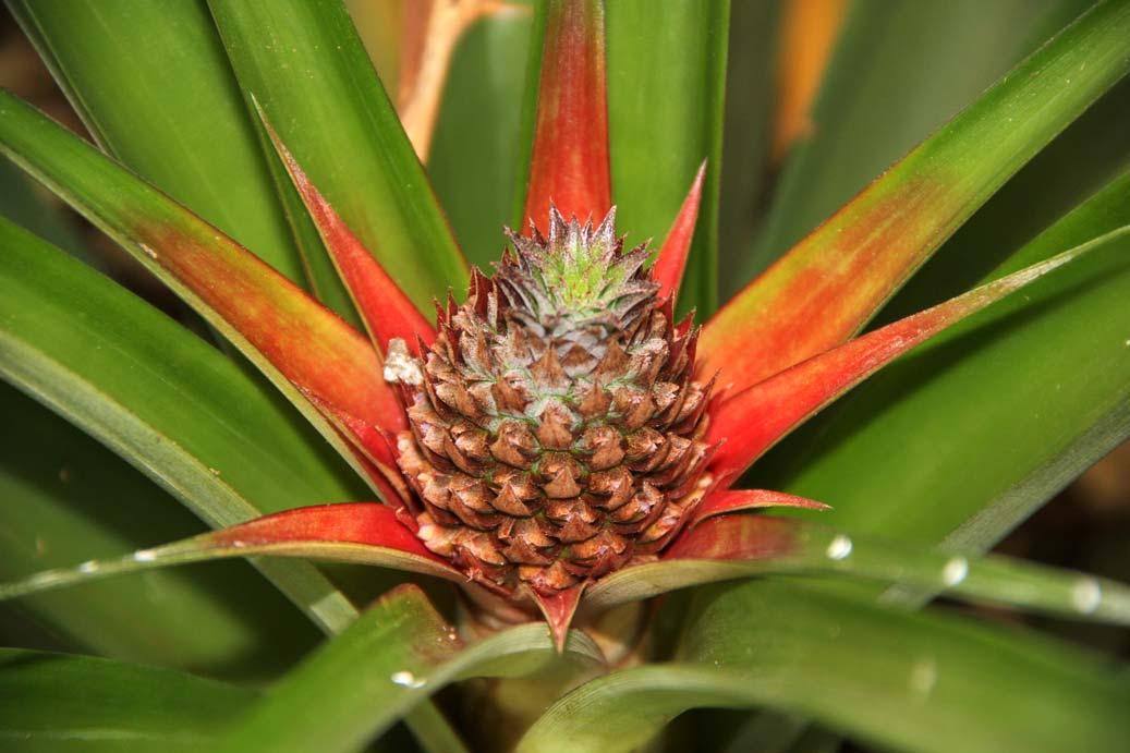 Ananasová plantáž