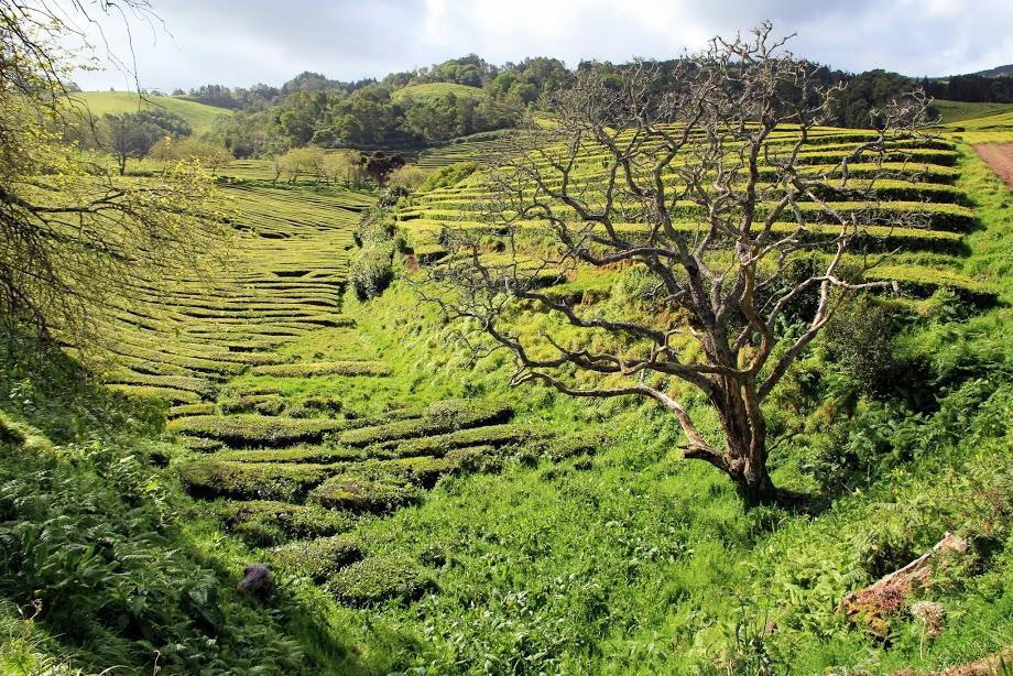 Čajovníkové plantáže v Porto Formoso