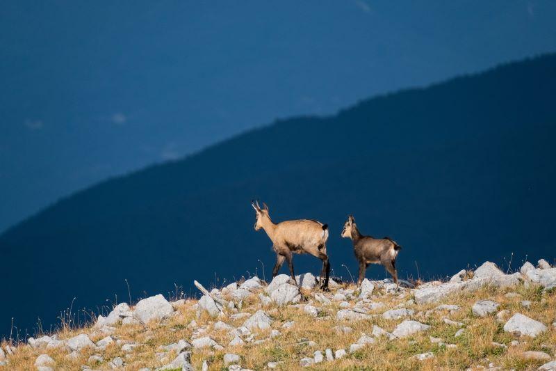 Divoké kozy v podoří Pirin