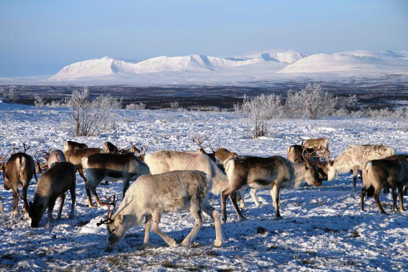 Engholm husky - zimní pastva sobů