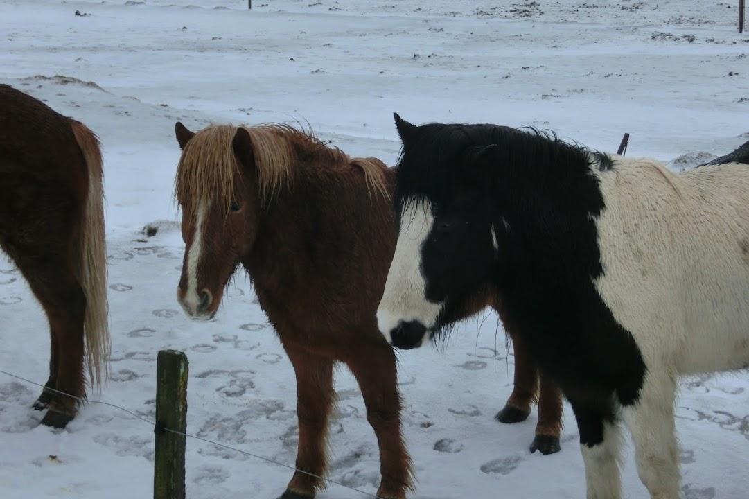 Krása islandských koní je okouzlující