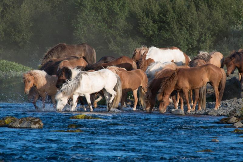 Krásní islandští koně
