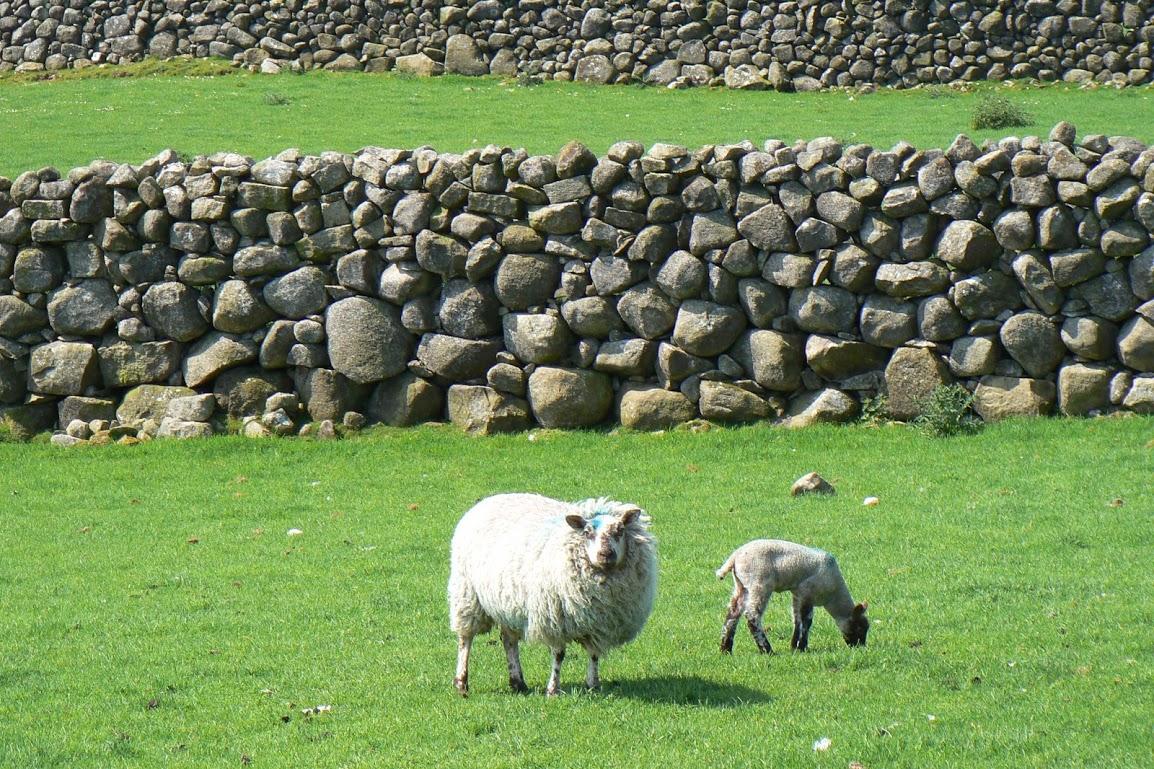 Ovce a kamenné zídky charakterizují Irsko