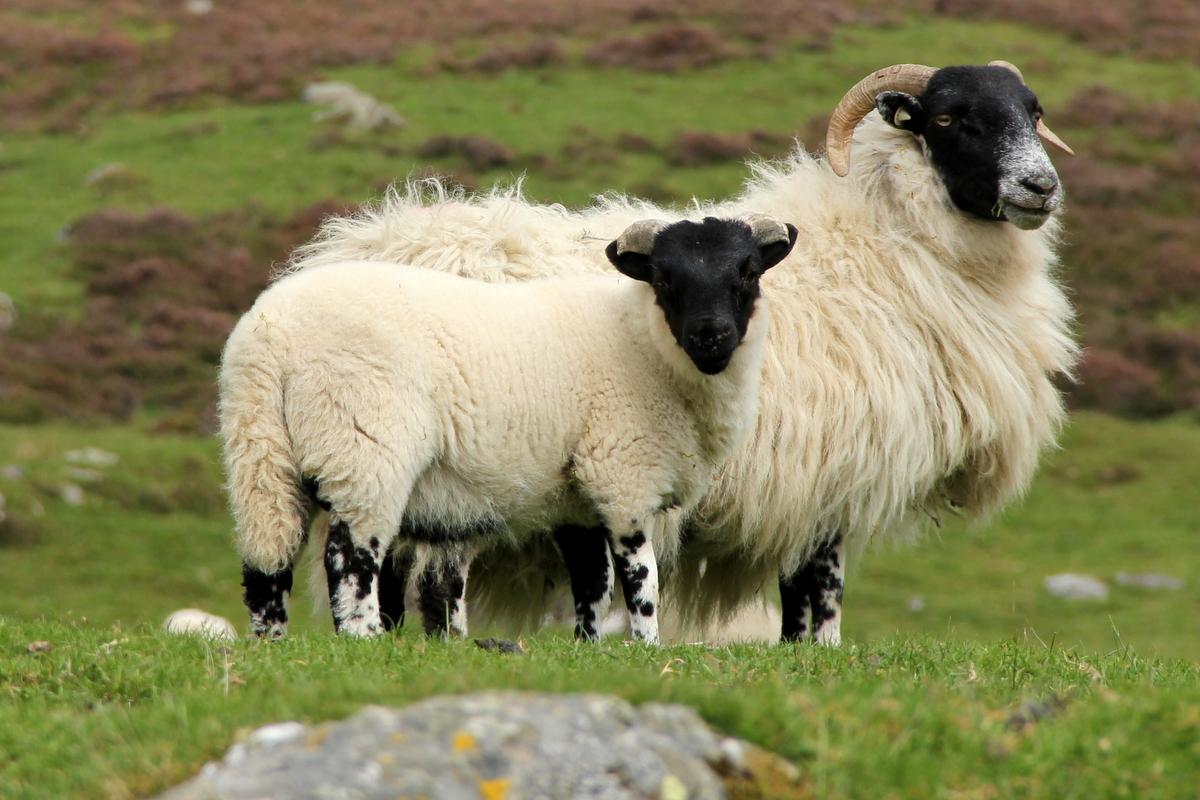 Británie má dlouhou tradici chovu ovcí