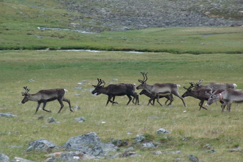 Fauna NP Sarek