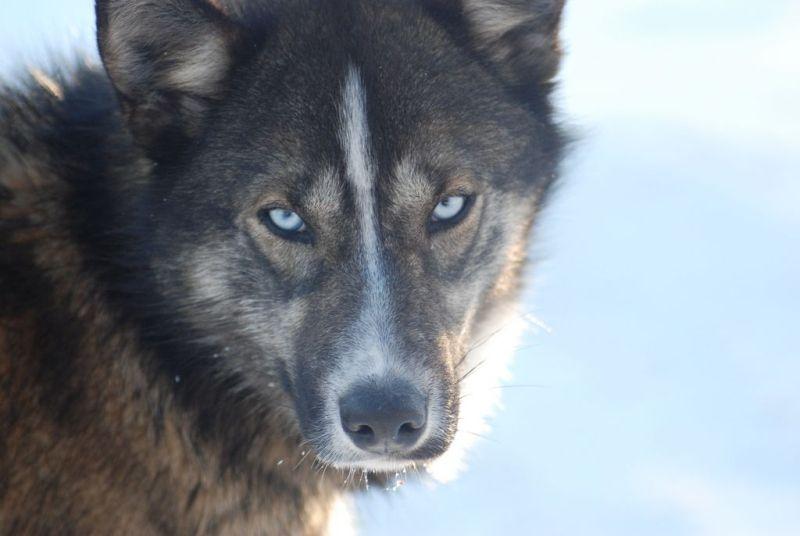 Husky- důležitý člen psího spřežení v Engholm Husky