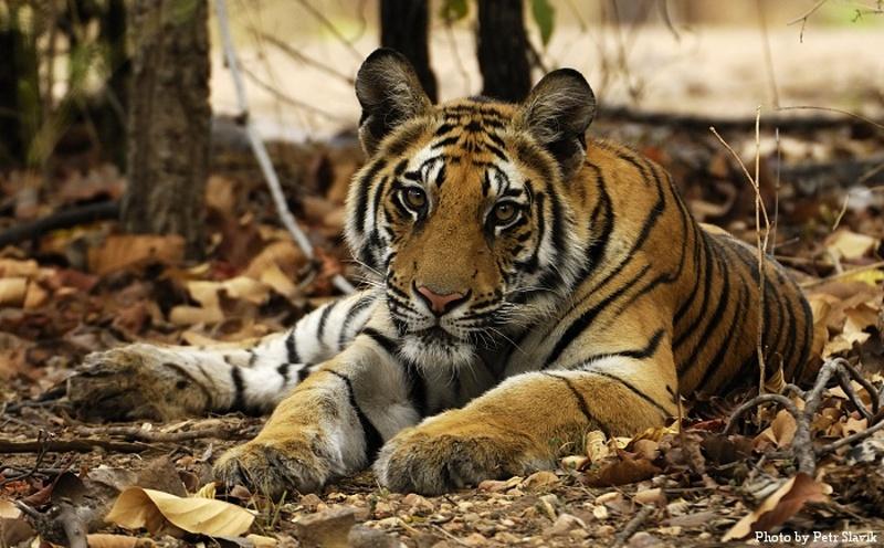 Indie - expedice Tygr 2015
