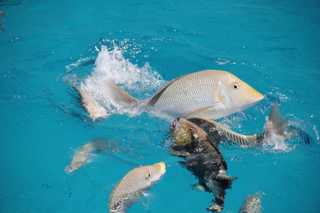 Krmení ryb na Velkém bariérovém útesu