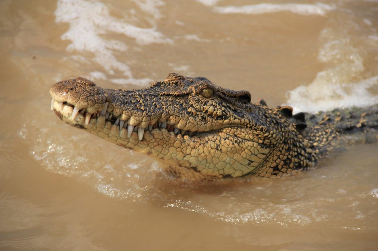 Krokod�l mo�sk�