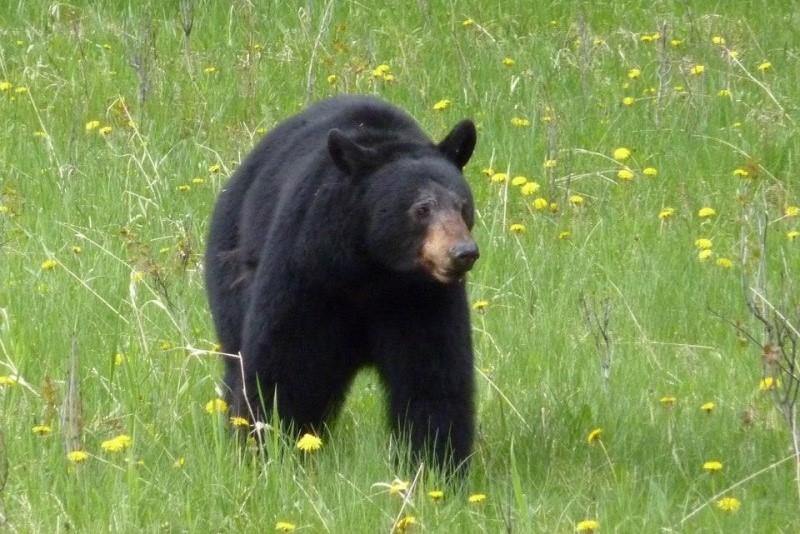 Medvěd v přírodě během zájezdu CK