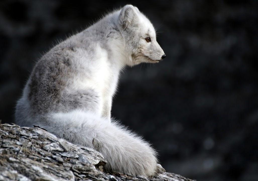 Mládě polární lišky