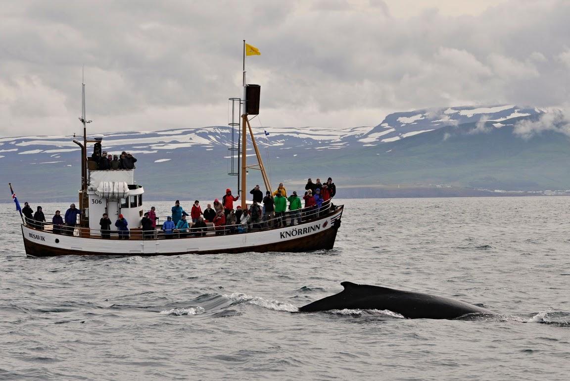 Pozorování velryb na Islandu