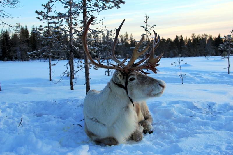 Sob - typický zástupce severské krajiny