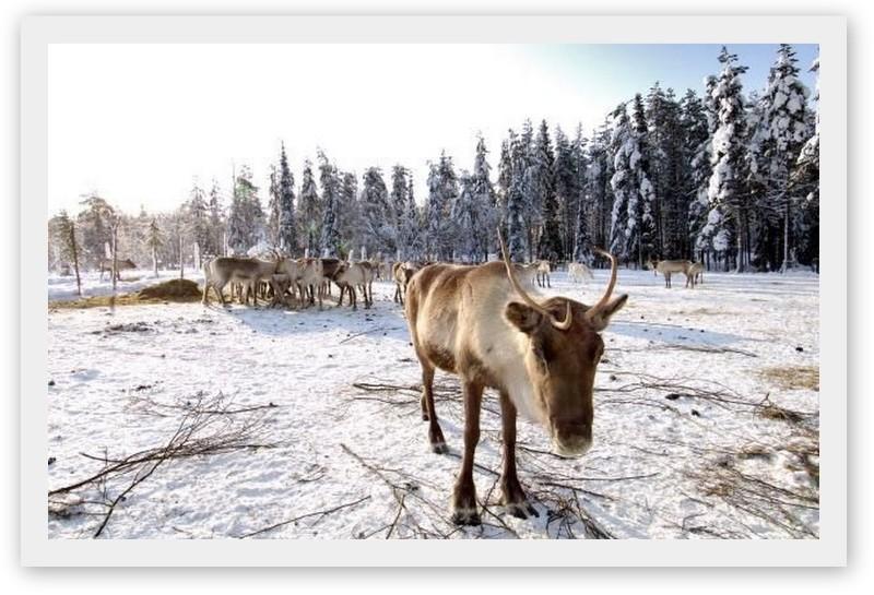 ledové hotely.cz / VNP Iso-Syöte můžete navštívit sobí farmu RÁM