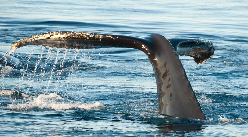 Velrybí ocas