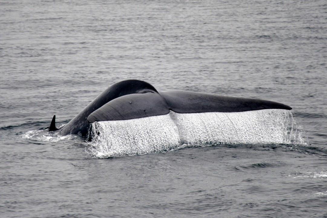 Velrybí ploutev těsně před ponorem